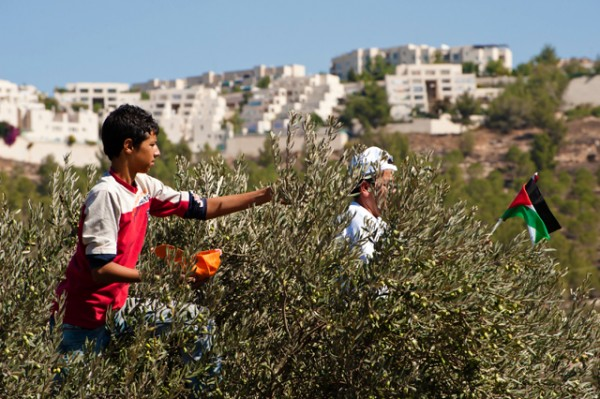 Palestine Olive Harvest, A-Walaja, West Bank, 14.10.2011